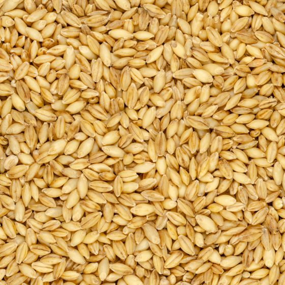 Hulless barley grains background and surface